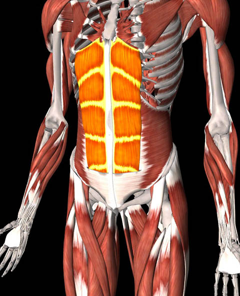 Illustration of the rectus abdominus
