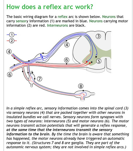 Image of an illustration of how the reflex arc works from adaparoject.org