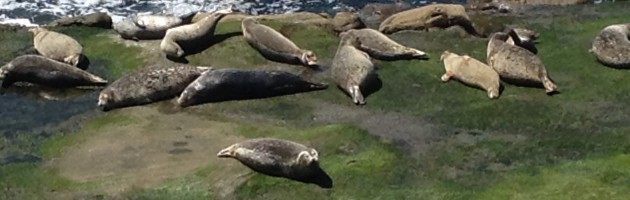 image of seals basking on rocks next to the ocean