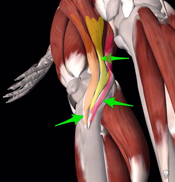 image of illustration of the 3 muscles for the medial knee