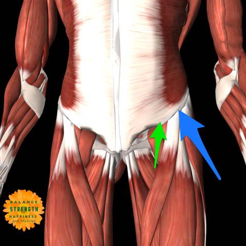 image of illustration of hip flexor muscles