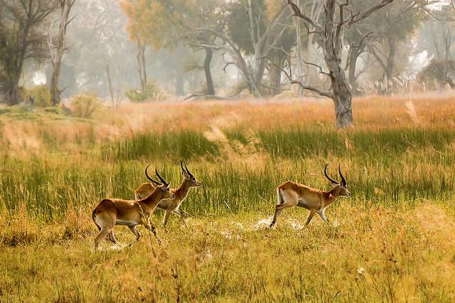 Image of Impala running courtesy of Aftab Ussaman on Flickr