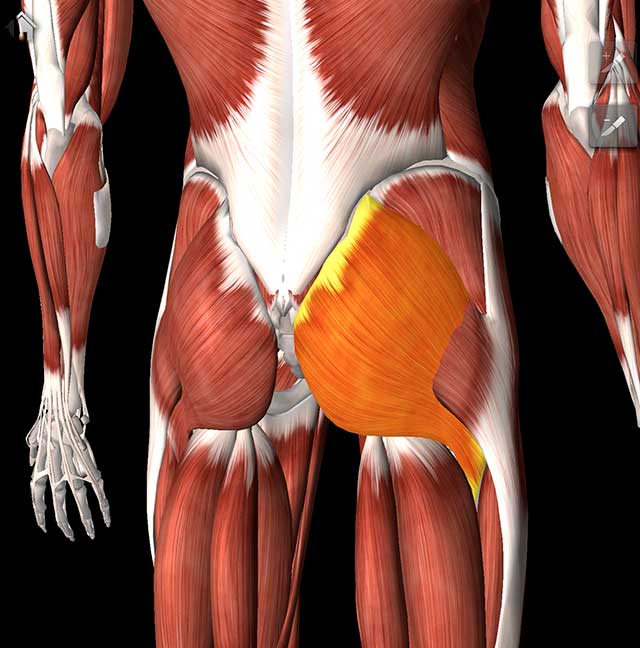 Illustration of the glute muscle on a skeleton form