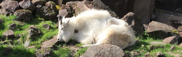 image of a white mountain goat